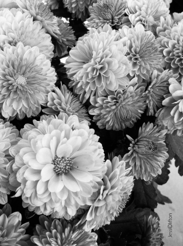 black_and_white_mums