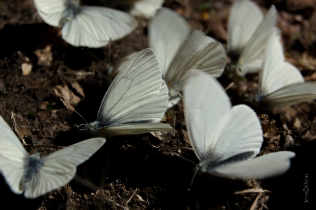 Butterflies Macro