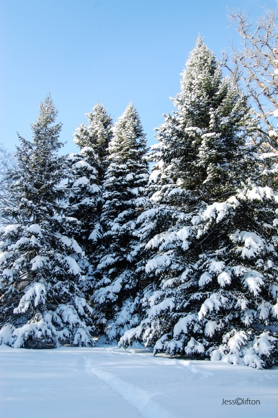 Blue Sky Evergreens Snow