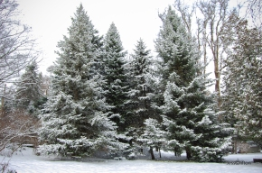 Evergreens Under Winter Snow