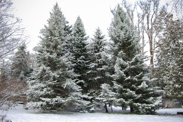 Evergreens Under Winter Snow