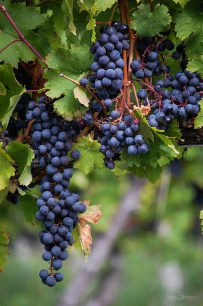 Hanging Purple Vineyard Grapes