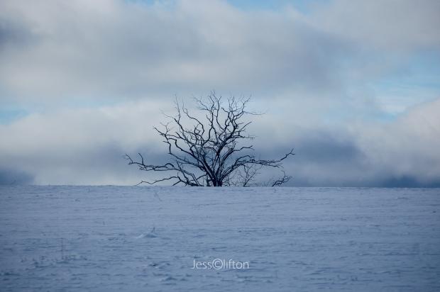Single Snowy Tree Winter