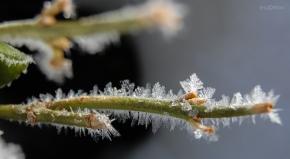 Hoarfrost Branch