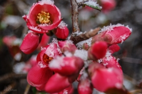 Pink Flower Buds Snow