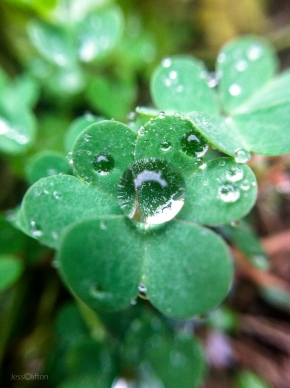 Wet Clover Shamrock