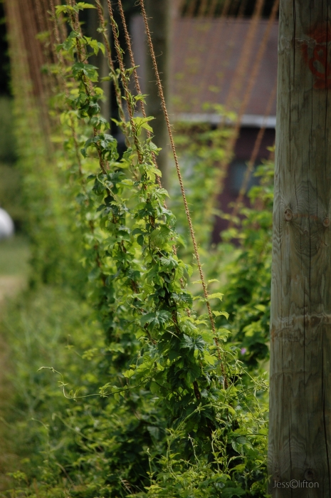 Hops Farm Vine