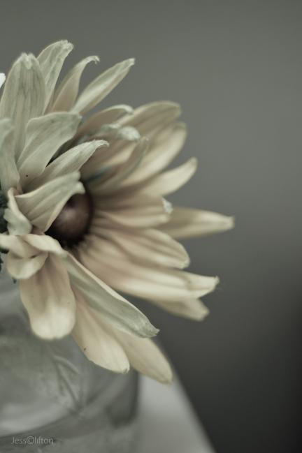 Creamy Monochrome Daisy