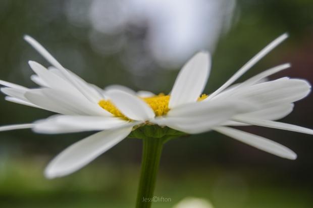 Daisy in Profile