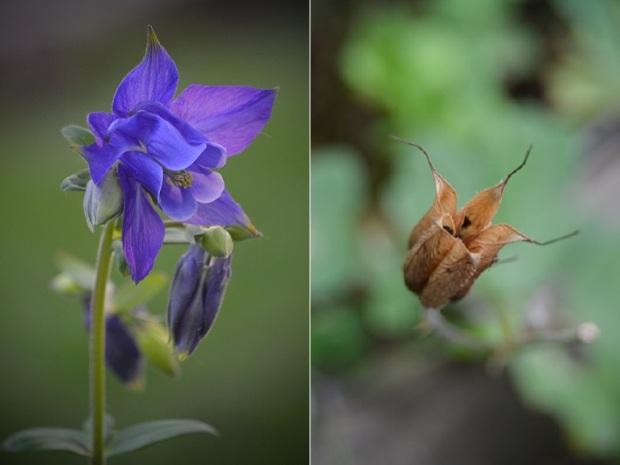 Purple Columbine Seed Pod