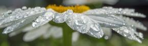 dew covered white daisy pano macro