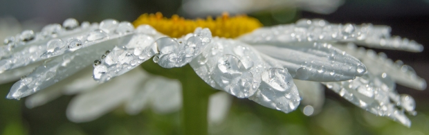 dew covered white daisy pano macro